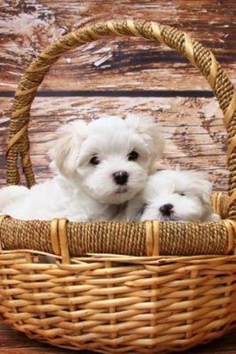 Two White Maltese Puppy Dogs in a Basket Journal