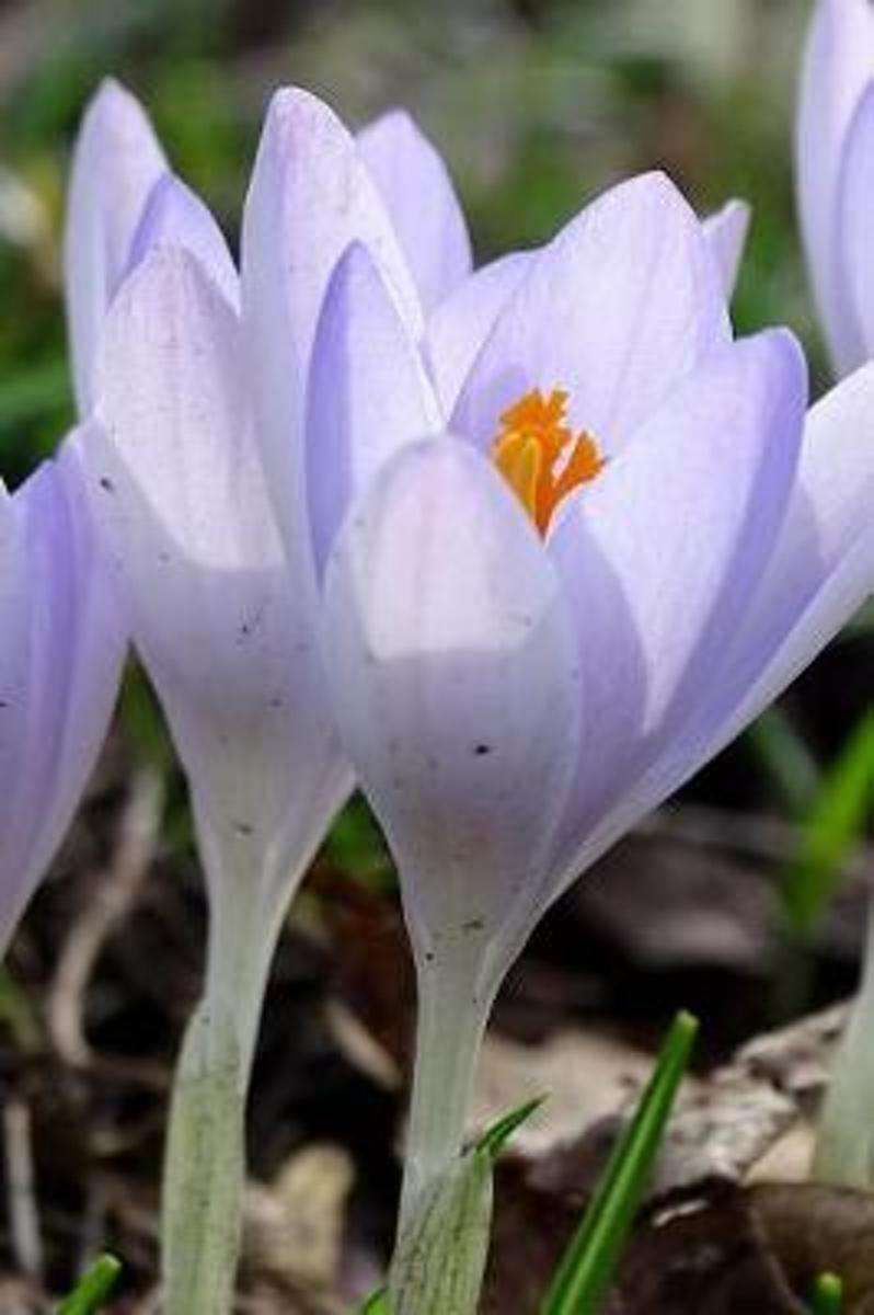 Lovely Pastel Purple Crocus Flowers in Early Spring Garden Journal