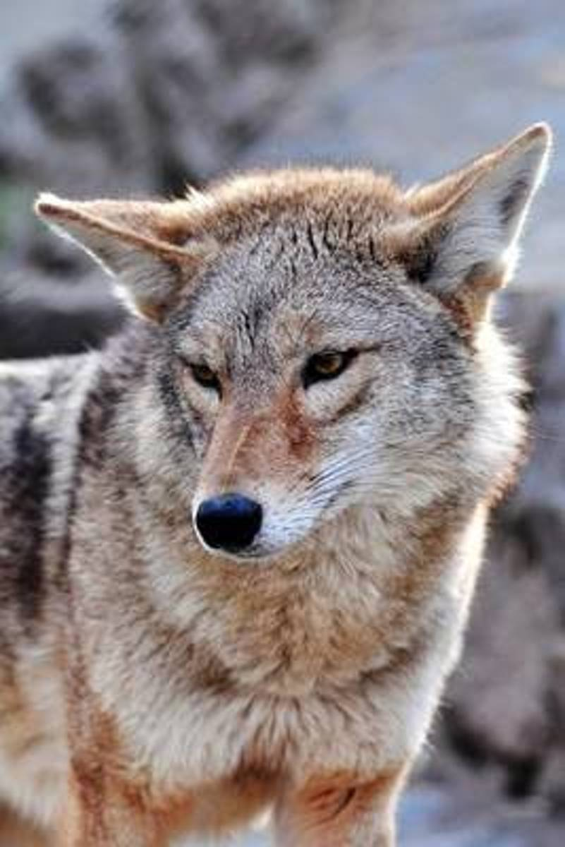 The Coyote Journal