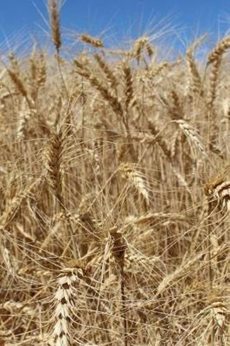An Amber Field of Wheat Up Close Breadbasket Agriculture Journal