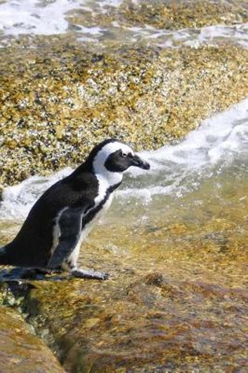 Such a Cute Black and White Penguin on a Walk Journal