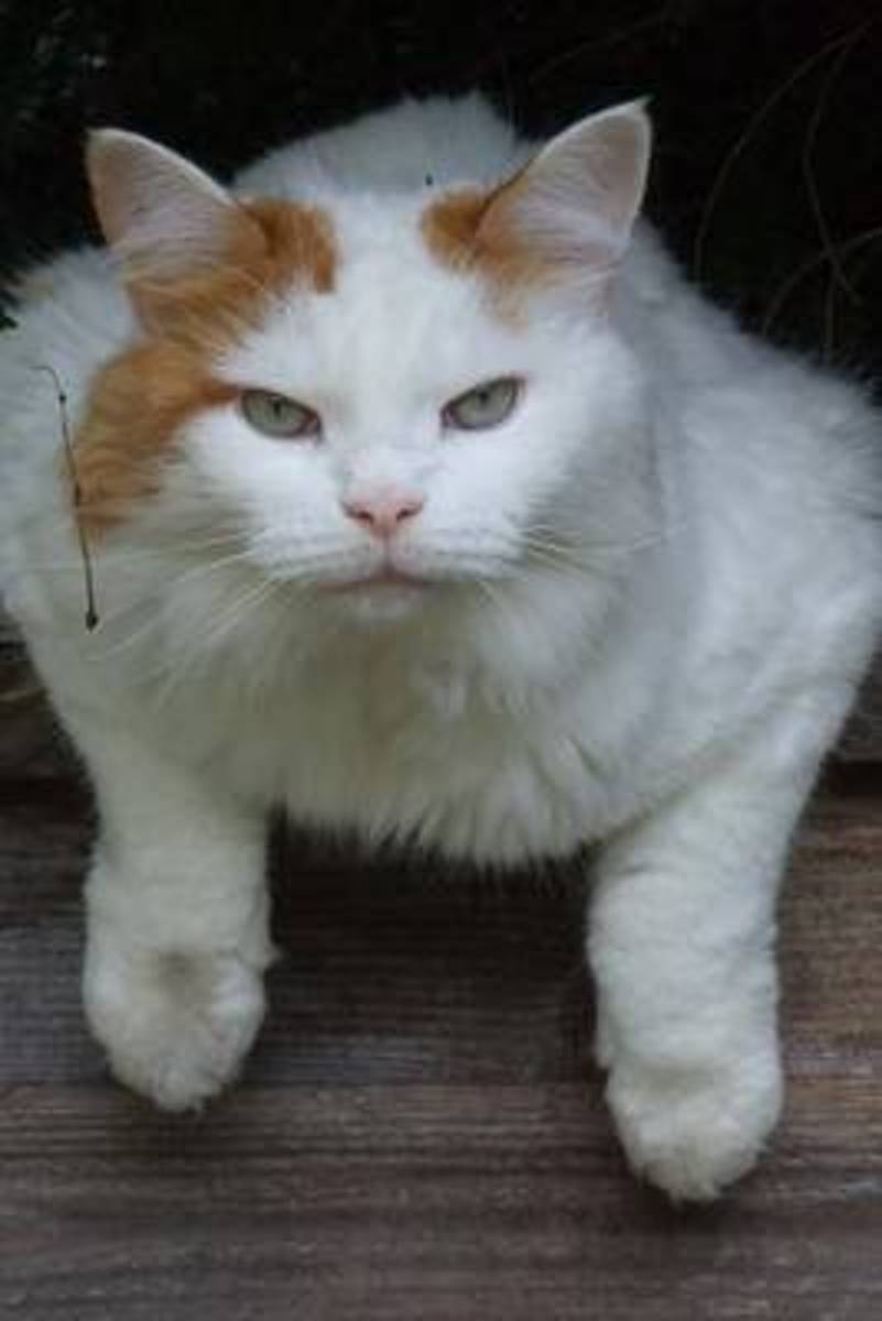 Who Are You Looking At? Turkish Van Cat Journal