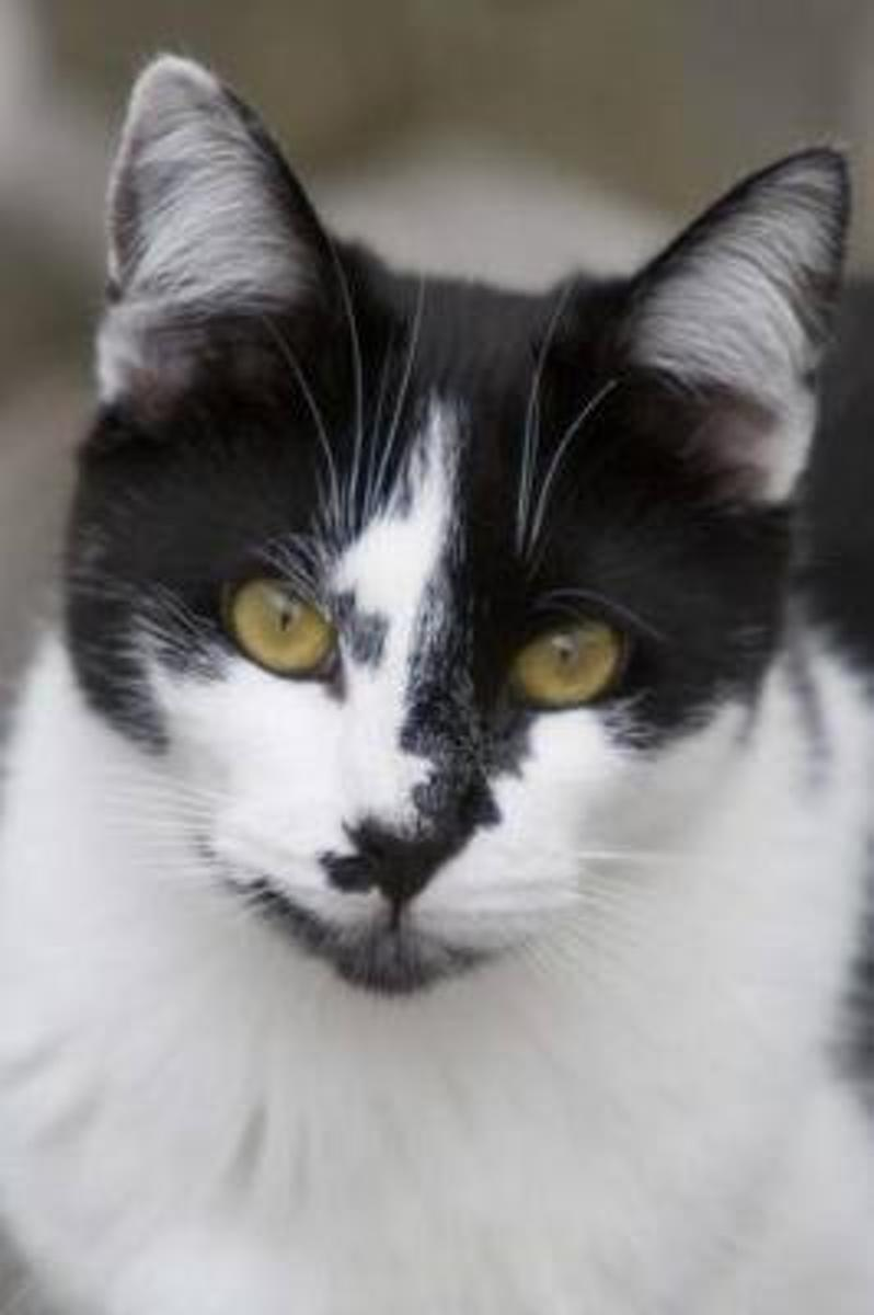 Curious Black and White Domestic Shorthair Cat Journal