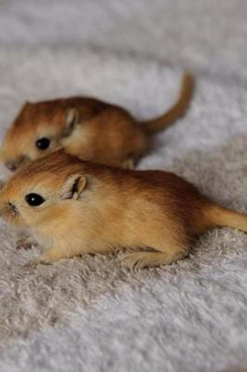 Two Adorable Baby Gerbils Pocket Pets Journal
