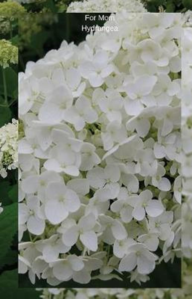 For Mom Hydrangea