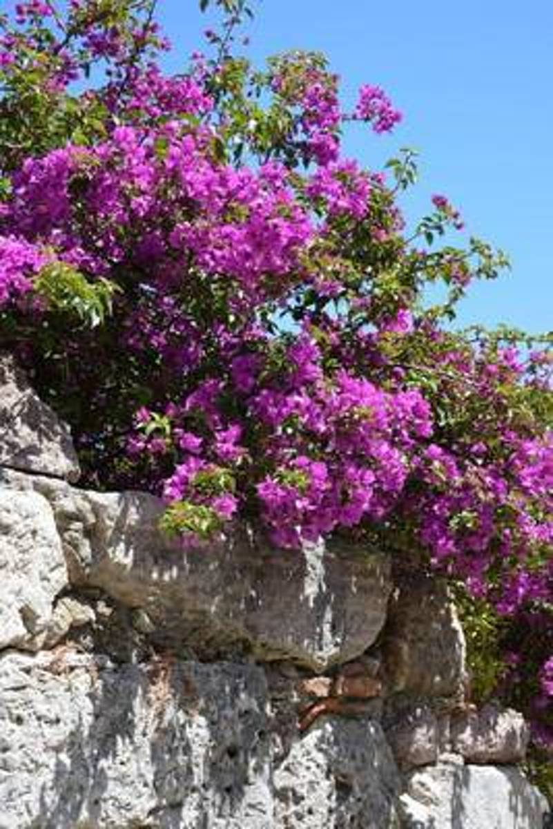 Bougainvillea on a Stone Wall Journal
