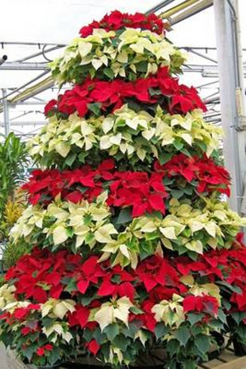 Red and White Poinsettia Plants Journal