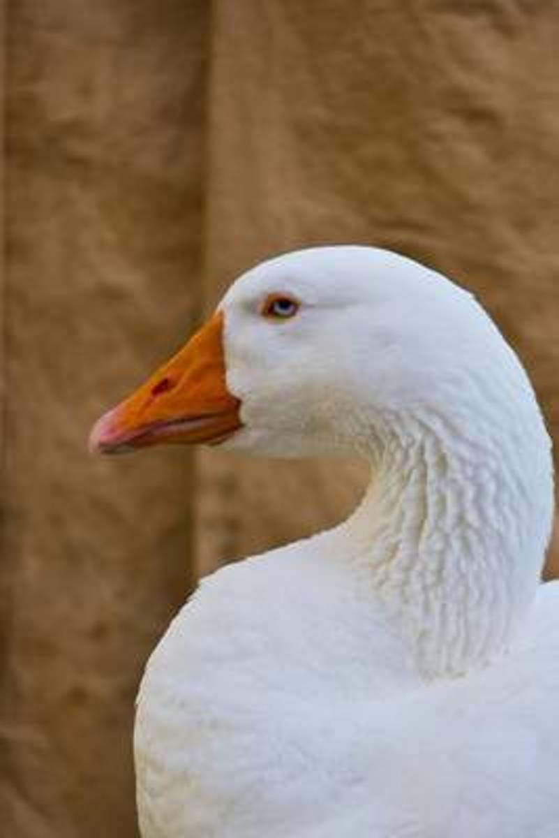 Portrait of a White Goose Animal Journal