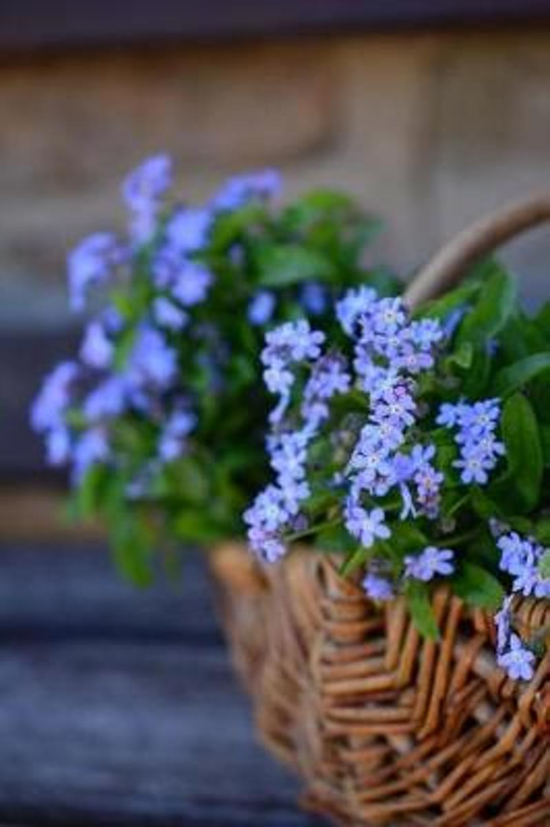 Lovely Blue Forget-Me-Not Flowers in a Wicker Basket Garden Journal