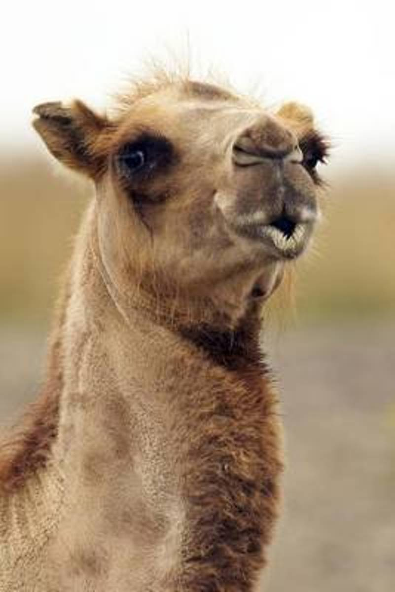 The Kissing Camel Journal