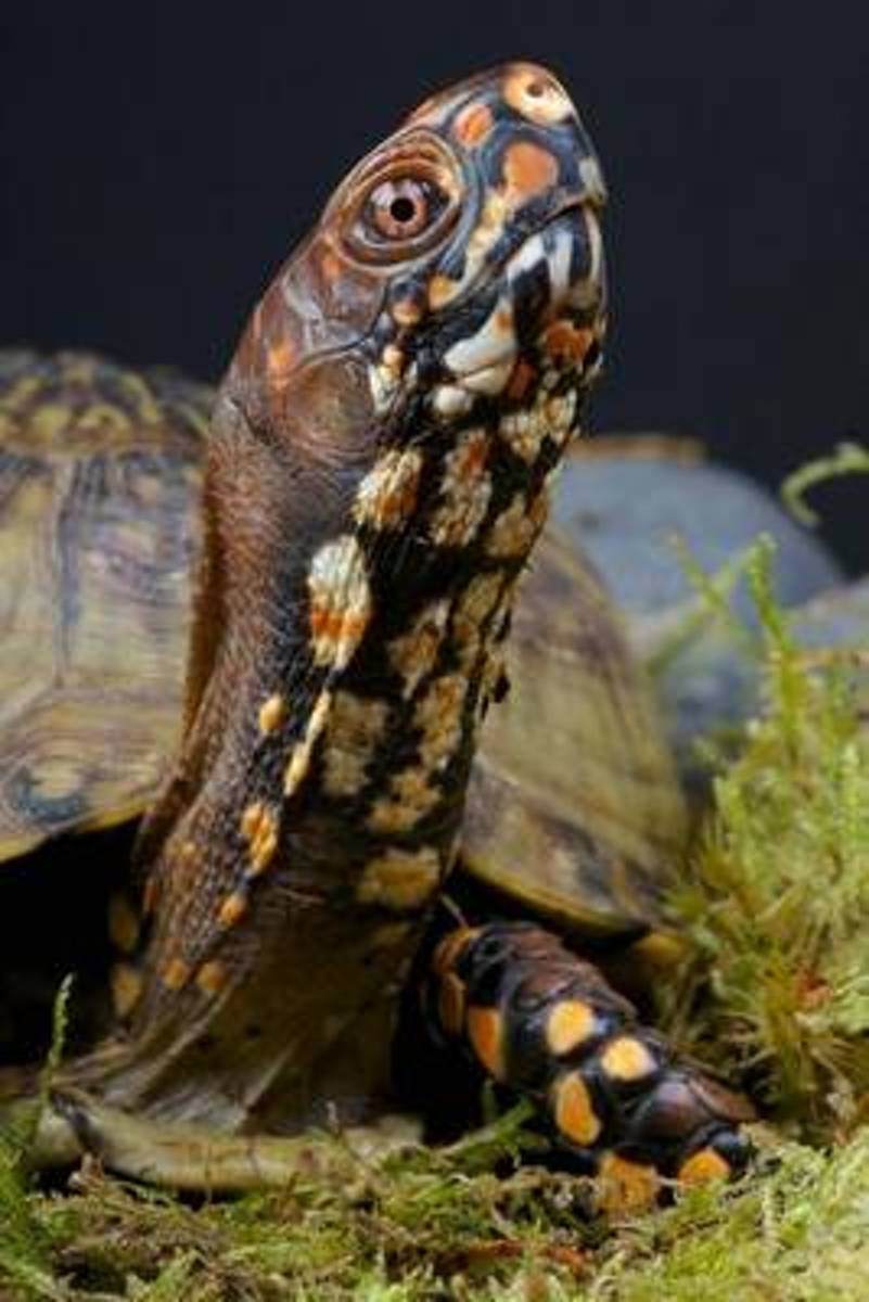 The Box Turtle Journal