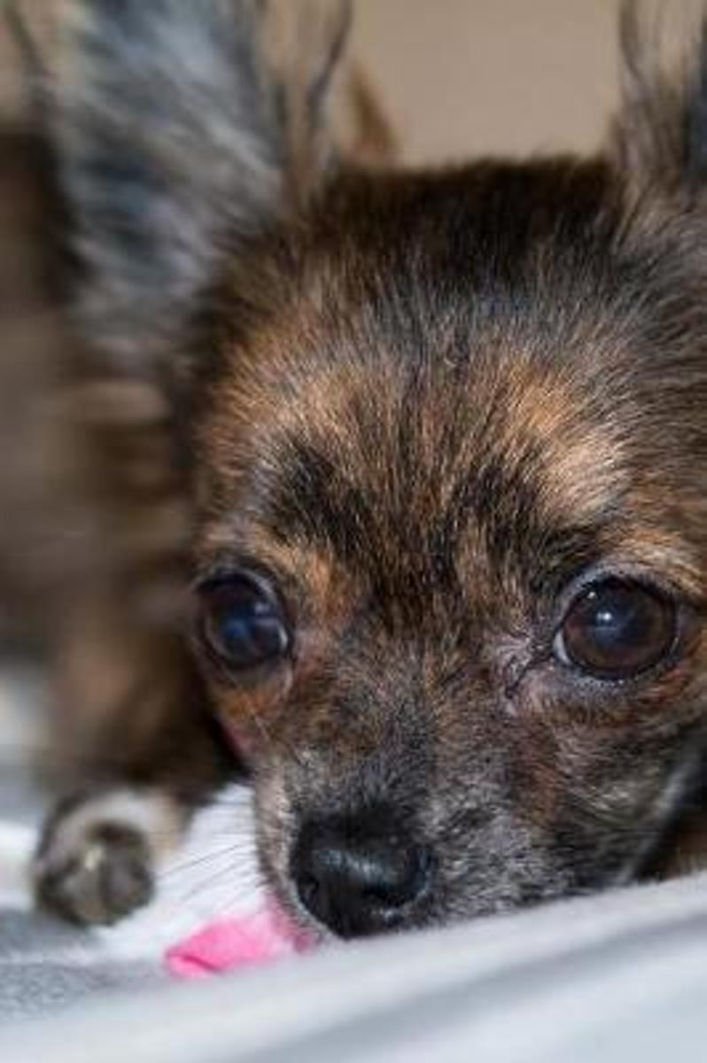 Close Up of a Sweet Chihuahua Puppy Dog Pet Journal
