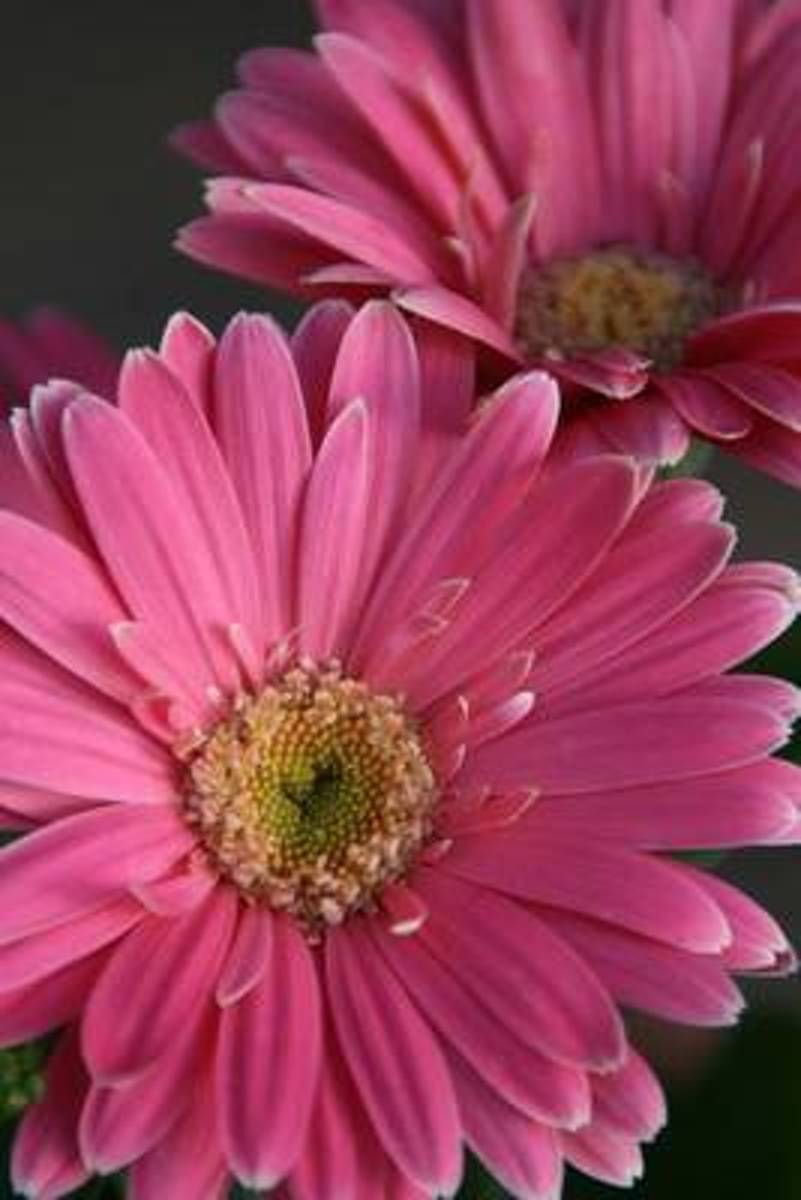 Pink Gerbera Daisy Journal