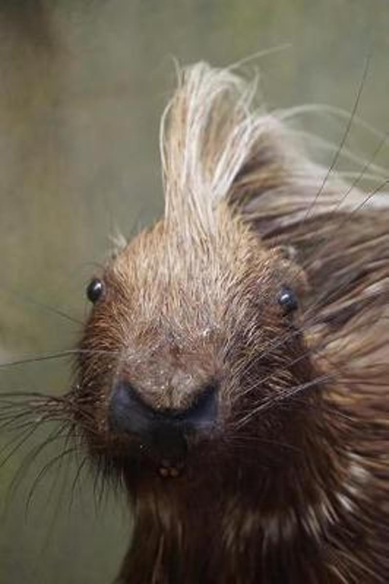 Porcupine with a Mohawk Close-Up Cute Animal Journal