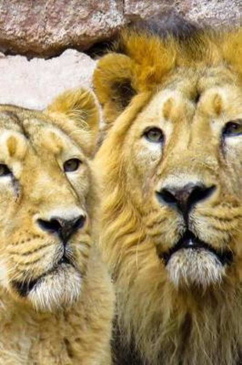 Two Lions Just Hanging Out Big Cats Africa Journal