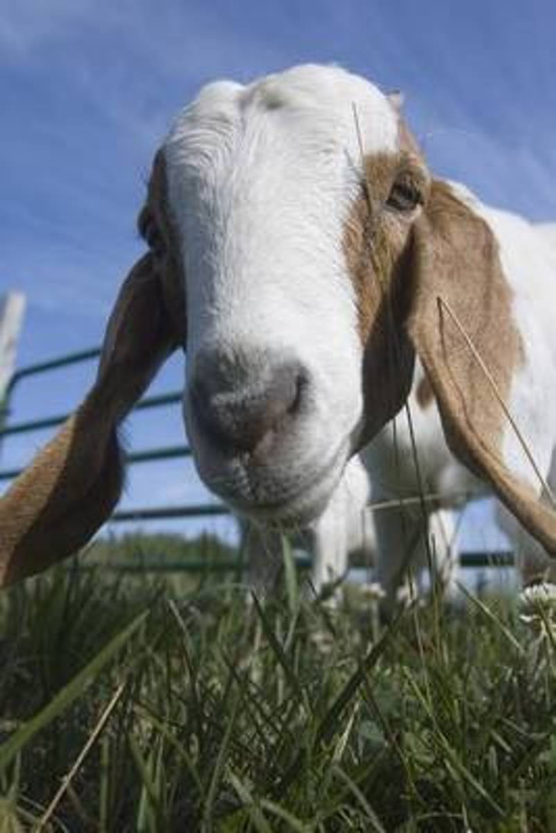 Hi There! Domestic Goat Portrait Journal