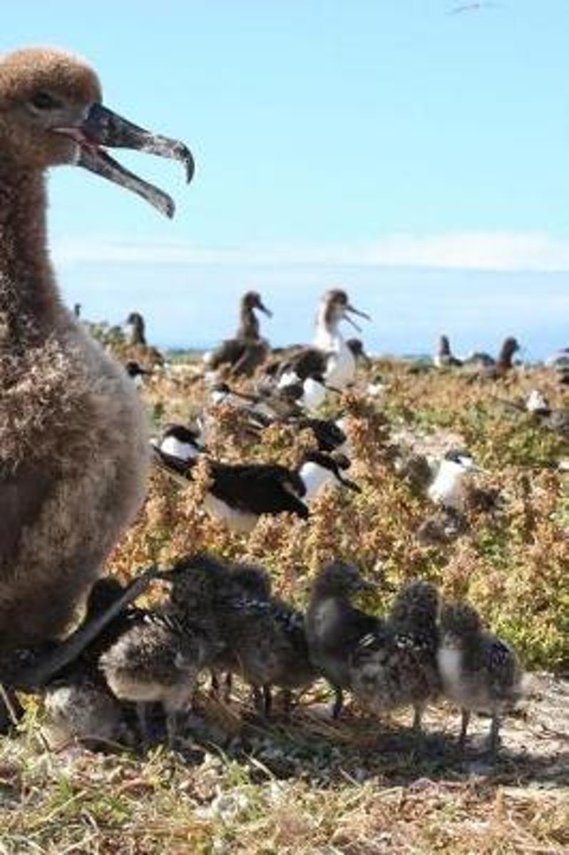 So Cute Baby Albatross Chicks and Their Mother Journal