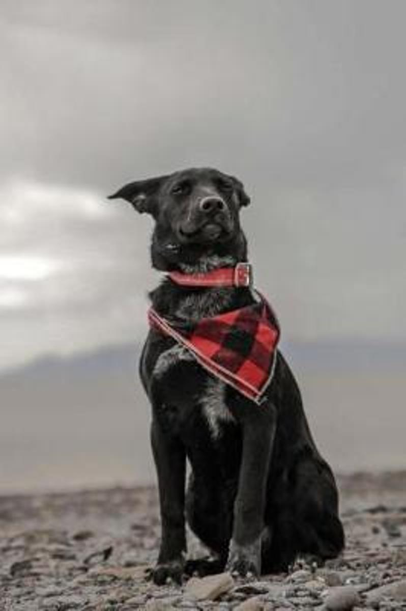 Adorable Black Dog Wearing a Plaid Scarf Strikes a Pose Journal