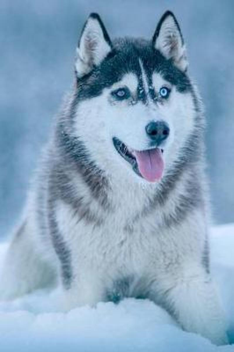 A Wonderful Husky Dog Relaxing in the Snow Pet Journal
