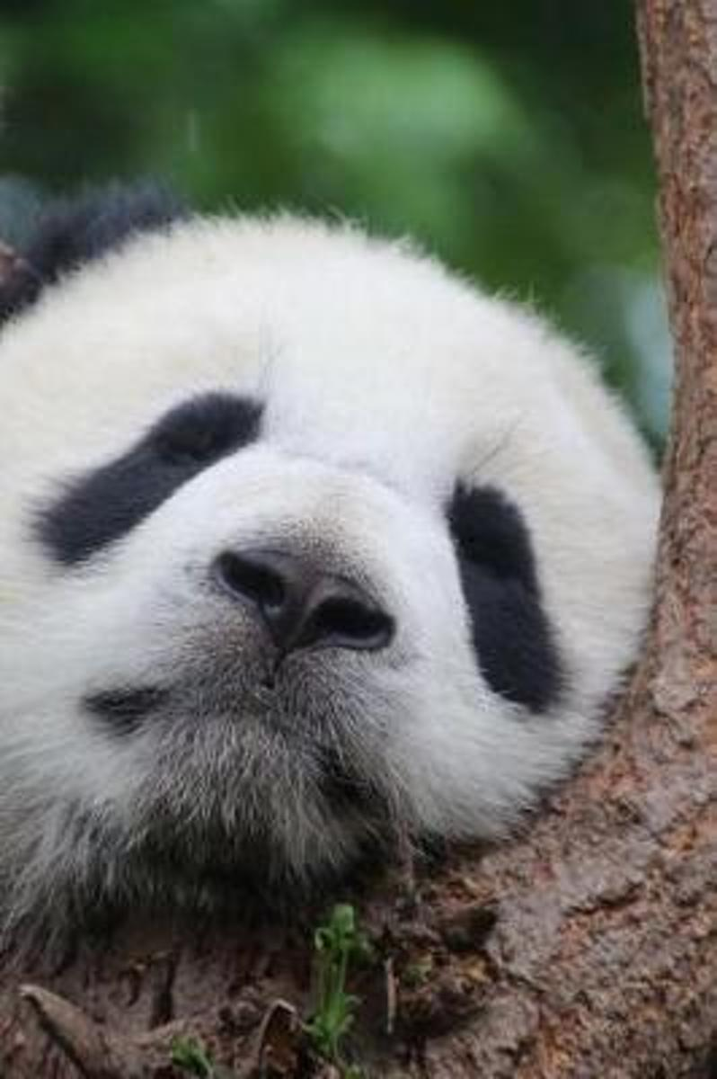 Pat the Panda Takes a Nap in a Tree Cute Animal Journal
