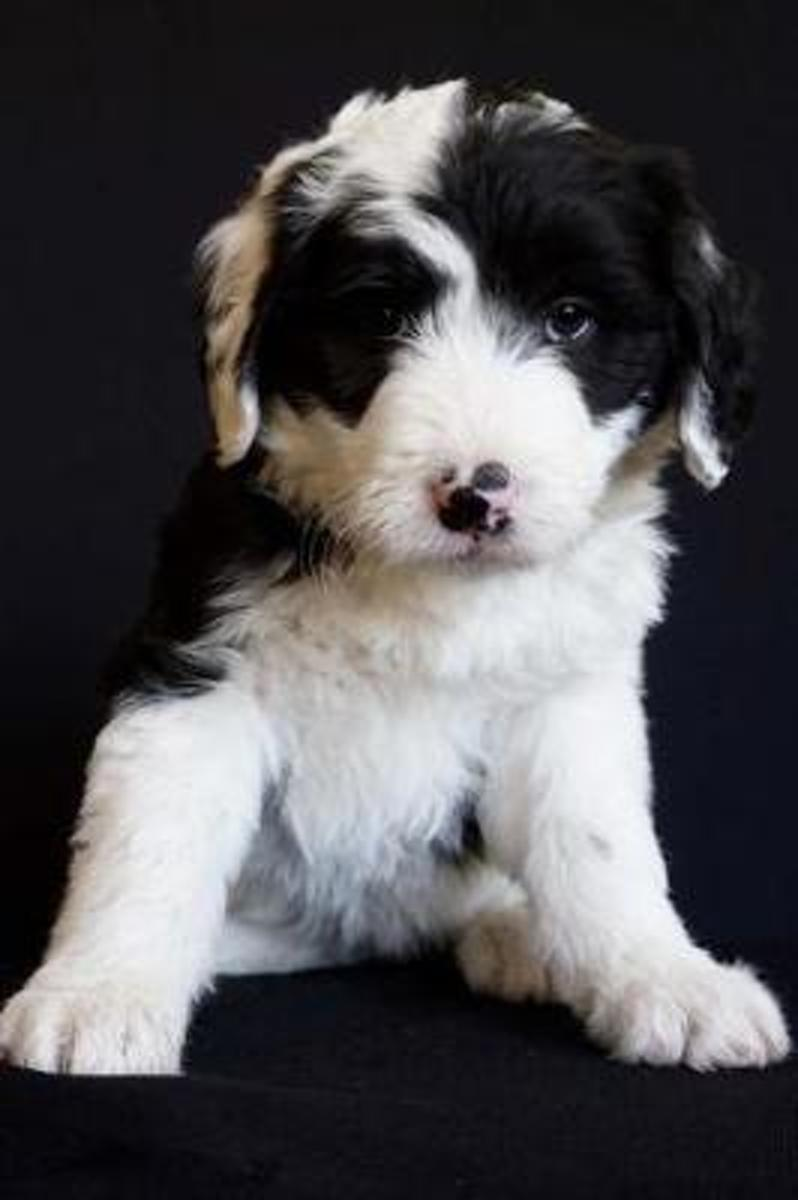 Such a Face! Black and White Baby Sheepdog Puppy Journal