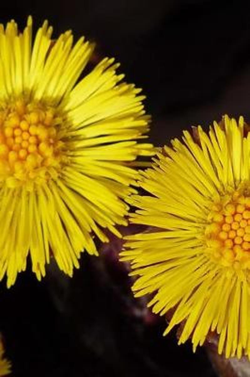 Pretty Coltsfoot (Tussilago Farfara) Flowers Journal
