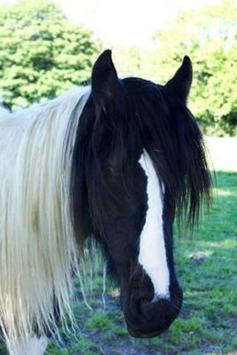 Lovely Piebald Black & White Horse Portrait Journal