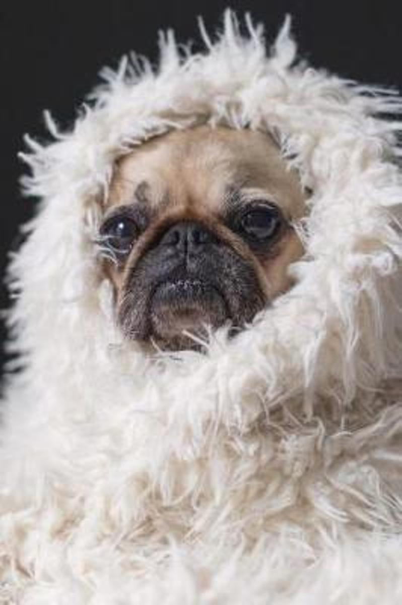 A Pug in a Fluffy White Blanket Cute Puppy Dog Pet Journal