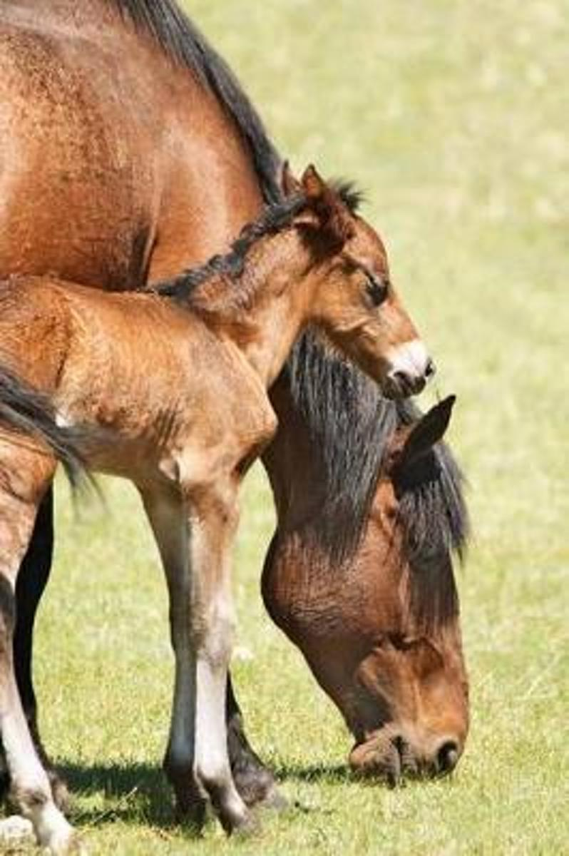 Grazing Mare and Her Foal