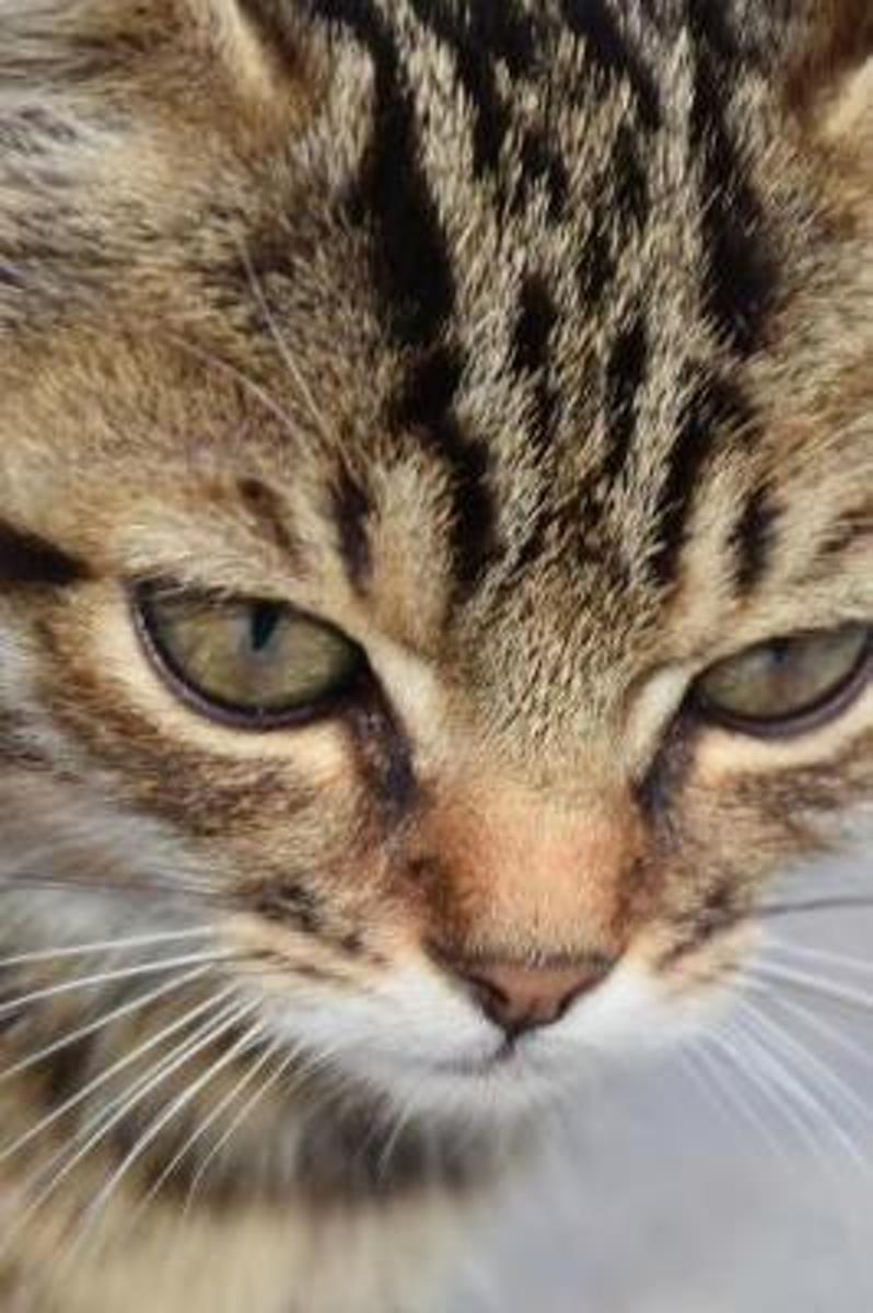 Very Close-Up Portrait of a Gray-Striped Tabby Kitten Journal
