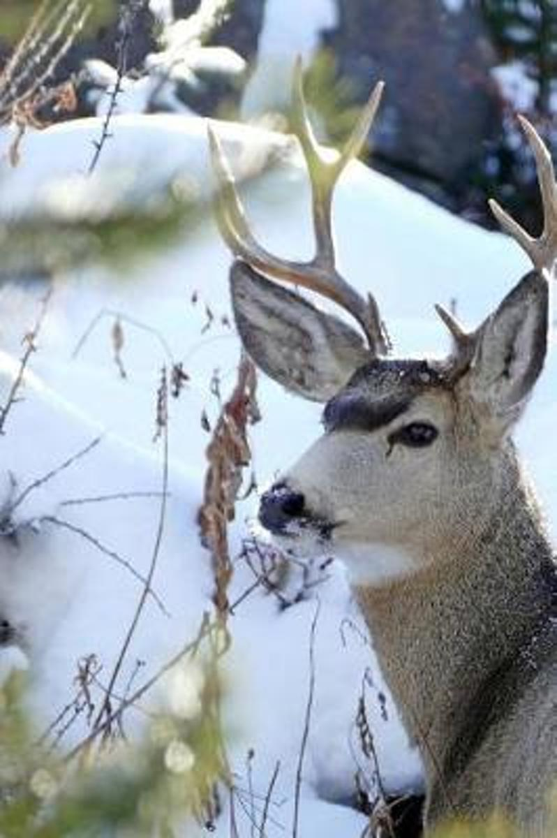 Mule Deer Buck in Profile Animal Journal