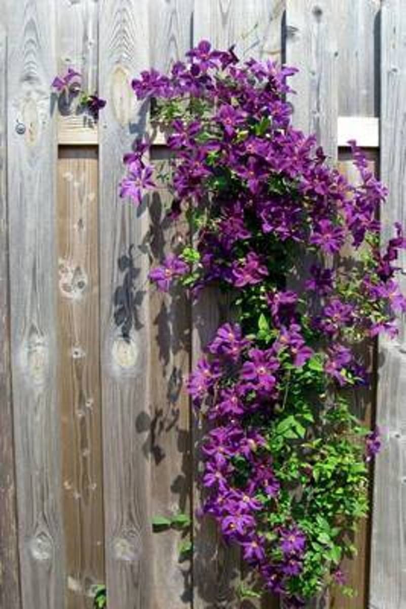 Clematis on a Weathered Wooden Fence Flower Journal