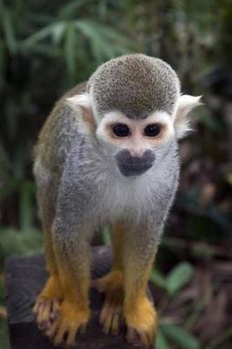 A Cute Common Squirrel Monkey Journal