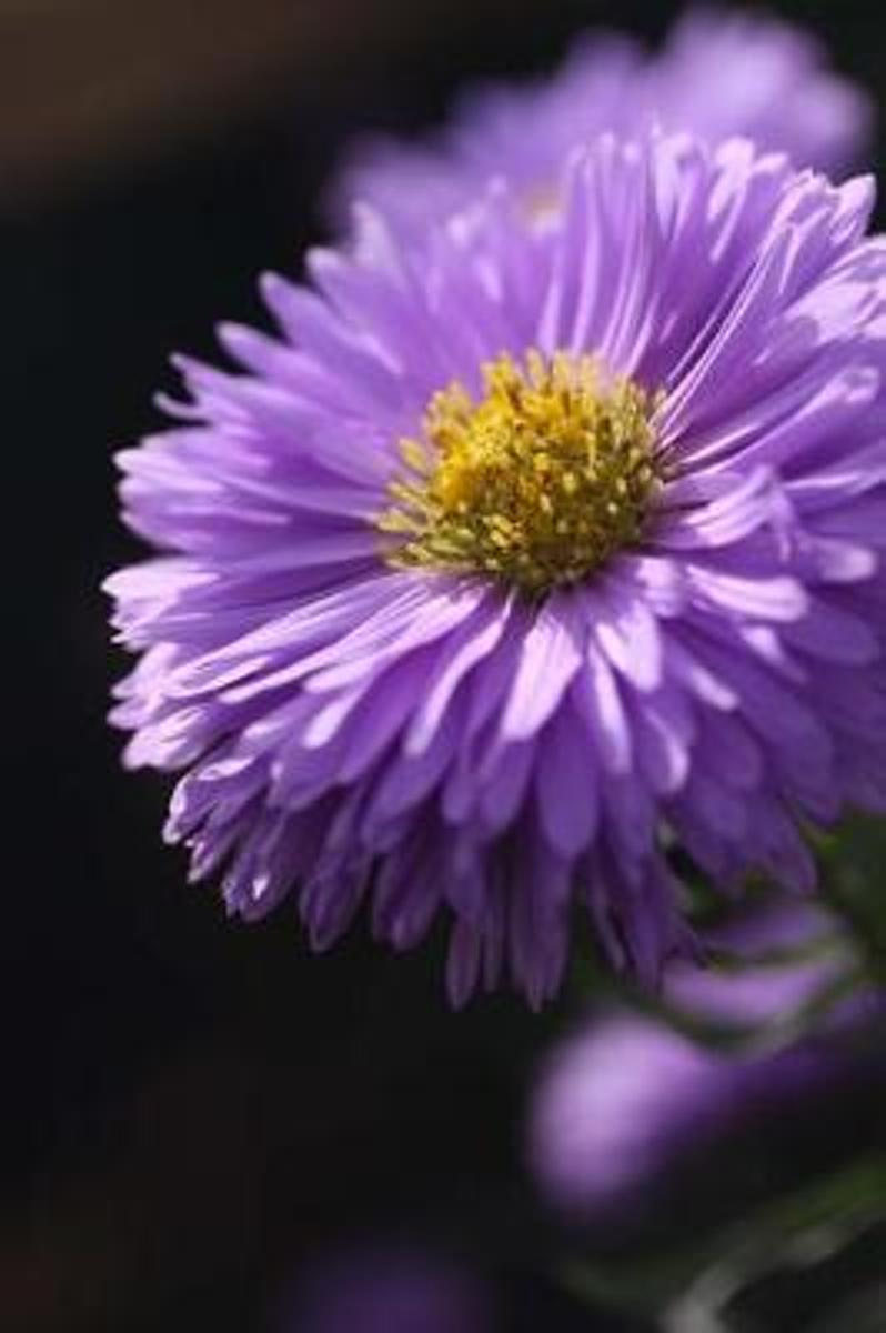 Purple Aster Flower Gardening Journal