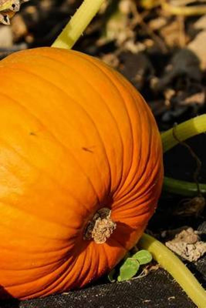 Pumpkin on the Vine Journal