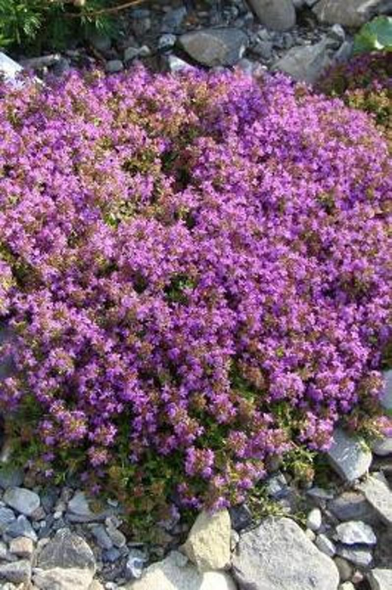 Purple Flowering Thyme in a Rock Garden Herb Journal