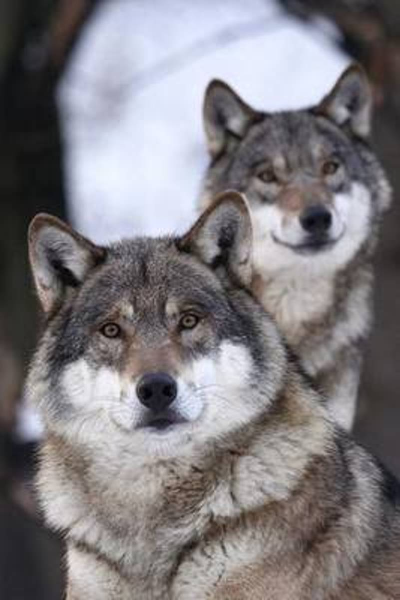 Two Wolves Checking You Out Journal