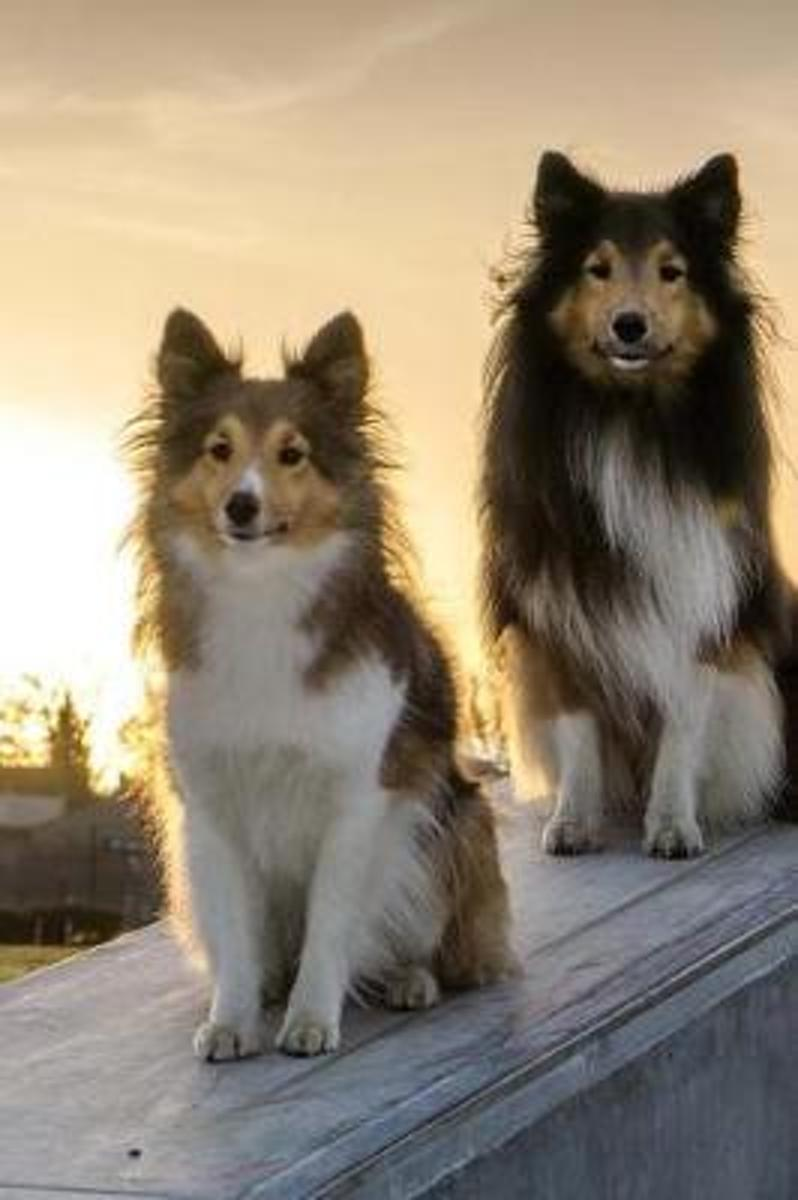 Two Awesome Sheltie Dogs Pet Journal